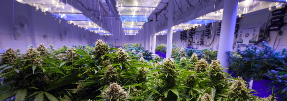 grow marijuana business