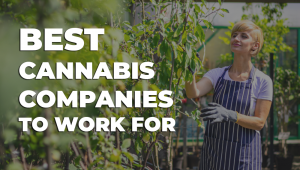 best cannabis companies to work for